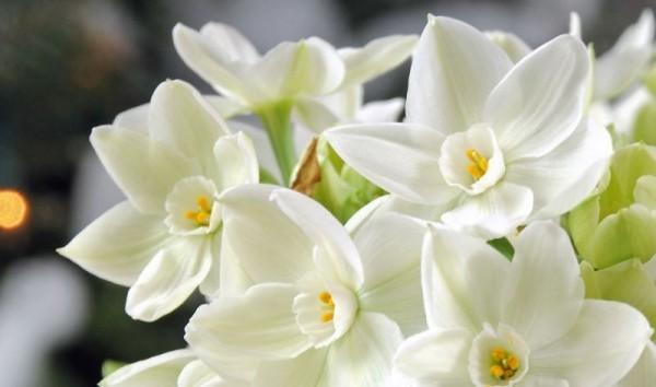 Frühlingsblumen weiße Narzisse