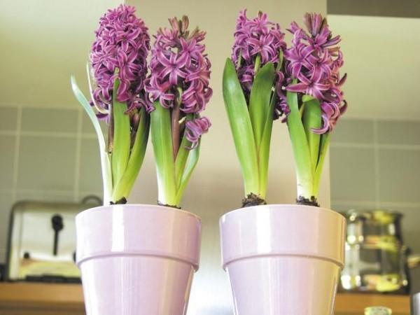 Hyazinthen Violett Farbe in der Küche