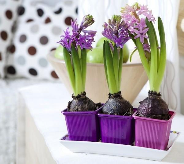 Hyazinthen lila kleine Töpfe t