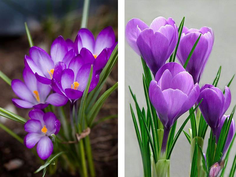Violett Krokusse