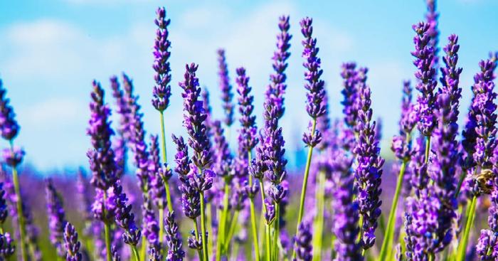 lavendelöl selber machen aus lavendelblüten