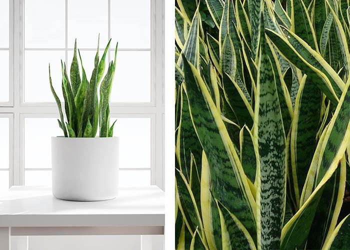 Bogenhanf grüne Deko schmückt Haus und Garten