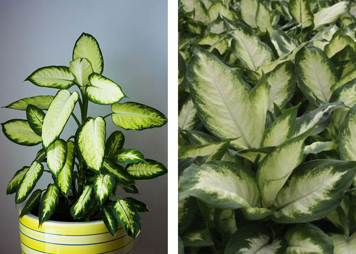 Zimmerpflanzen Dieffenbachie
