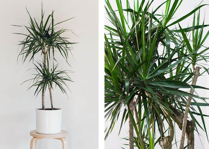 Zimmerpflanzen Drachenbaum