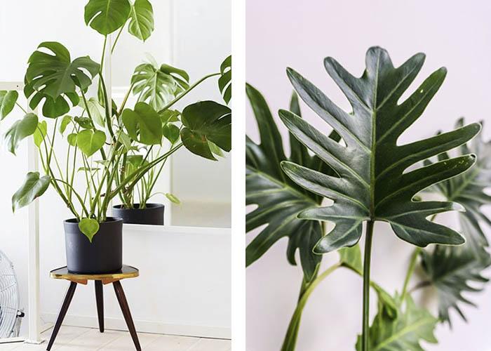 Zimmerpflanzen Fensterblatt