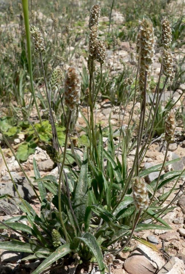 abnehmen mit flohsamen pflanze psyllium husk