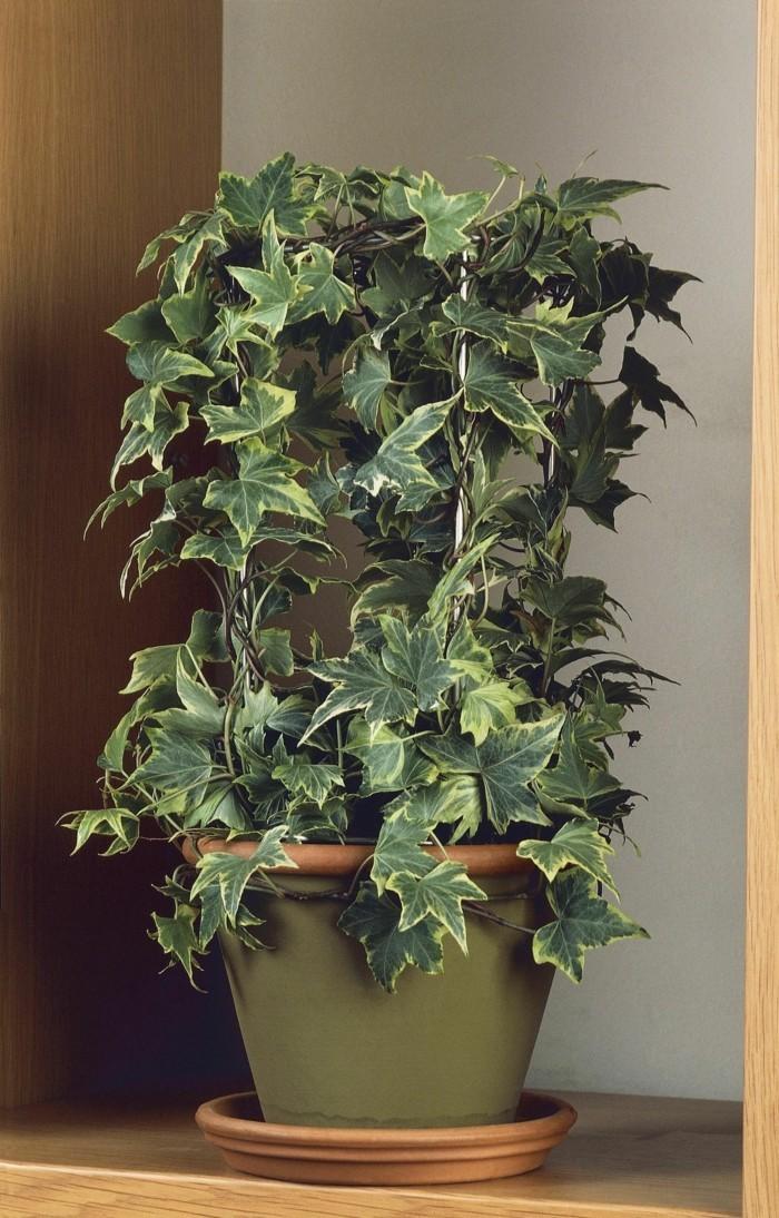 gruene zimmerpflanzen heilkráeutern efeu