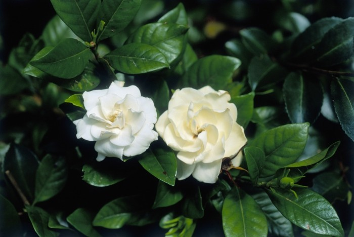 Gardenia augusta, close up of white flowers and dark green foliage