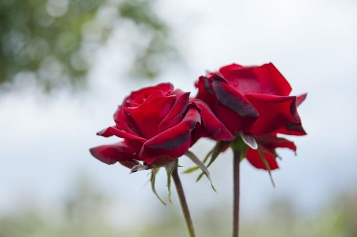 Valentinstag Blumen Sorgfaltig Auswahlen Aber Wie
