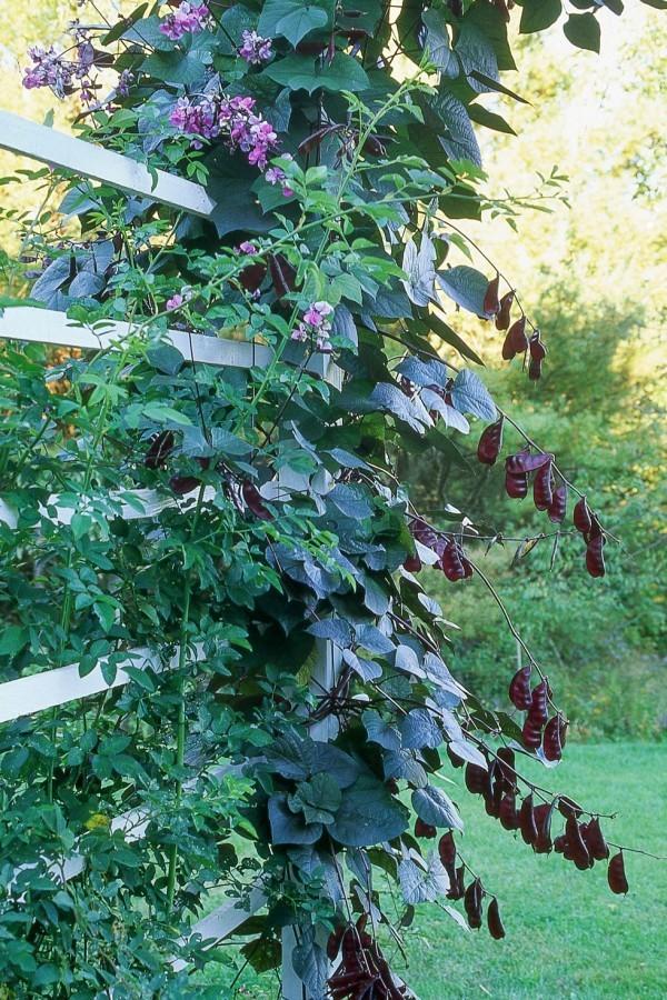 Blühende Kletterpflanzen Hyazinth-Bohne dekorativen Charakter
