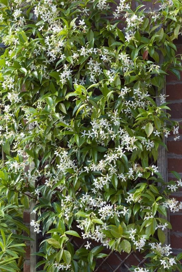 Blühende Kletterpflanzen Sternjasmin