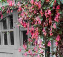 Kletterpflanzen – schnellwachsende und  blühende Reben für Ihren Garten