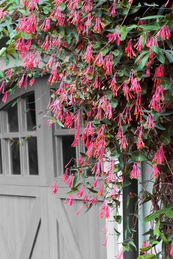 Blüten rosa bis violett Hausfassade herrlicher Duft