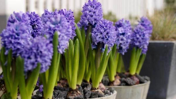 Gartenarbeit im Frühling Hyazinthen prächtig blühen schön duften
