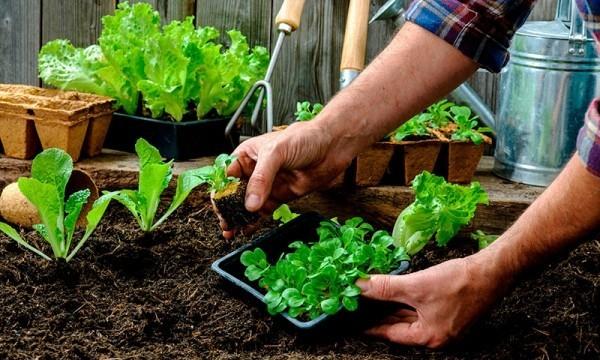 Gartenarbeit im März Setzlinge kommen ins Gemüsebeet