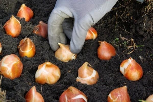 Gartenarbeit im März nicht winterharte Zwiebel