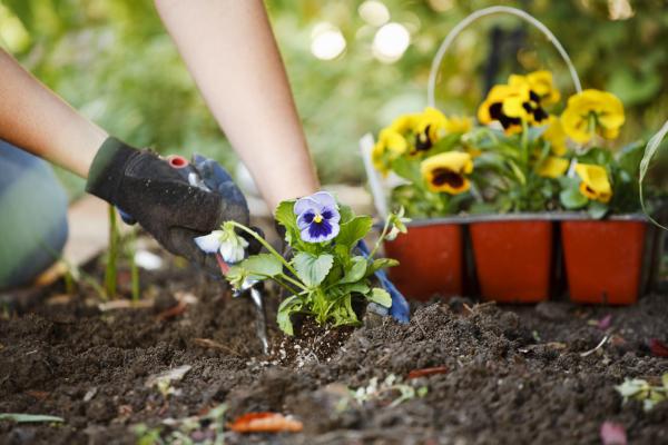 Gartenarbeit schöne Stiefmütterchen