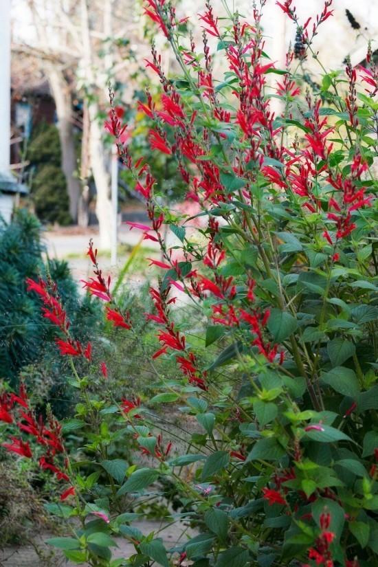 Gartenkräuter Ananas-Salbei leuchtend rote Blüten angenehmer Ananas-Duft