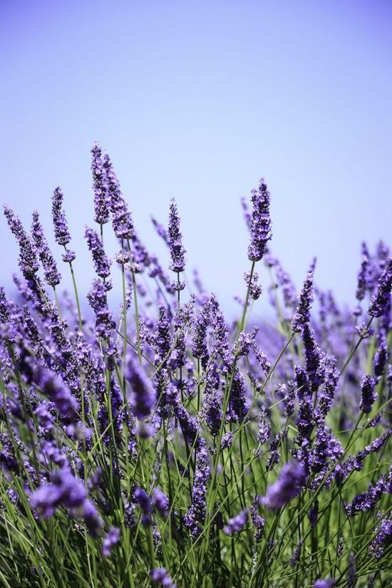 Gartenkräuter Lavendel