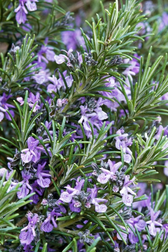 Gartenkräuter blühender Rosmarin