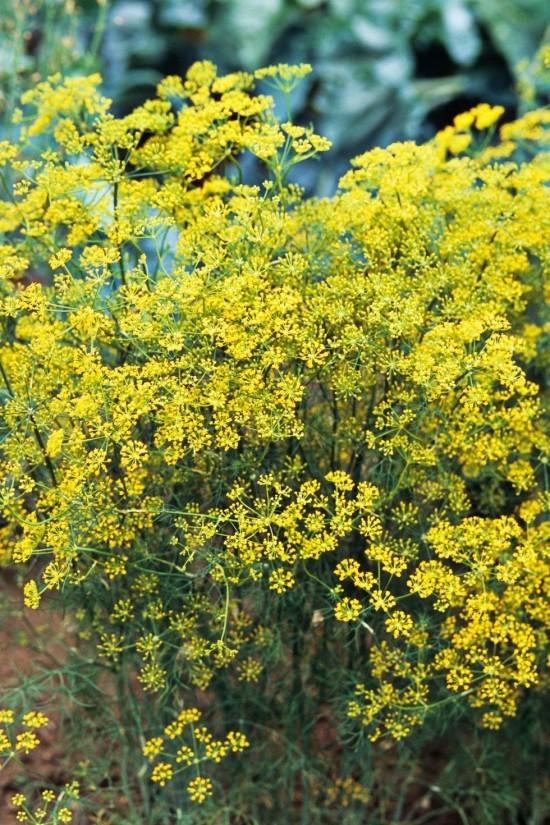 Gartenkräuter gelbgrüne Blüten