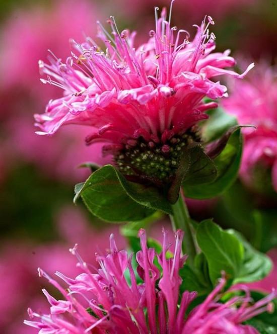 Gartenkräuter weinrote Blüten Goldmelisse Eyecatcher im Garten