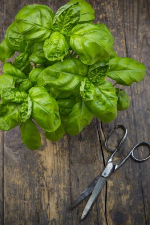 Garden plants and culinary herbs that keep mosquitoes away in summer