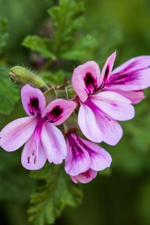 Gartenpflanzen gegen Mücken Duftgeranien