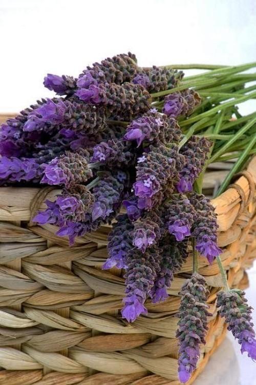 Gartenpflanzen gegen Mücken Lavendel