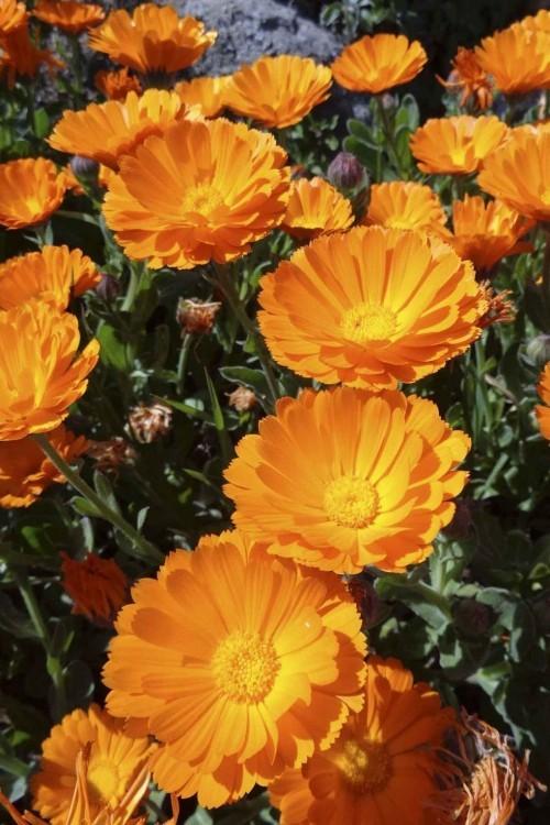 Gelbe Ringelblumen schöne Gartenpflanzen