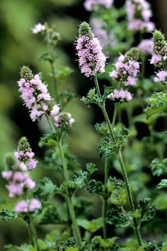 Grüne Minzen Gartenkräuter als Gewürz in Küche