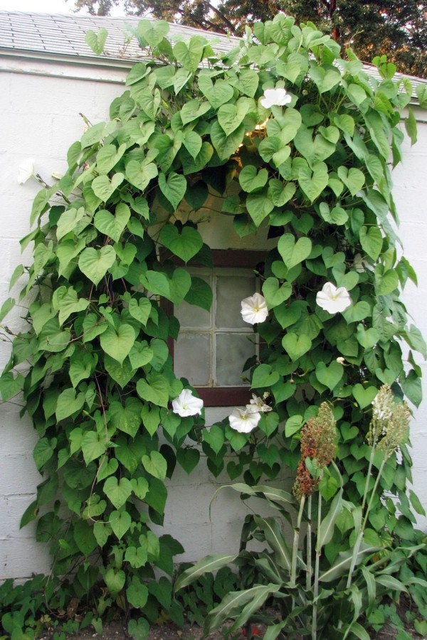 Kletterpflanzen Mondblume weiße Blüten