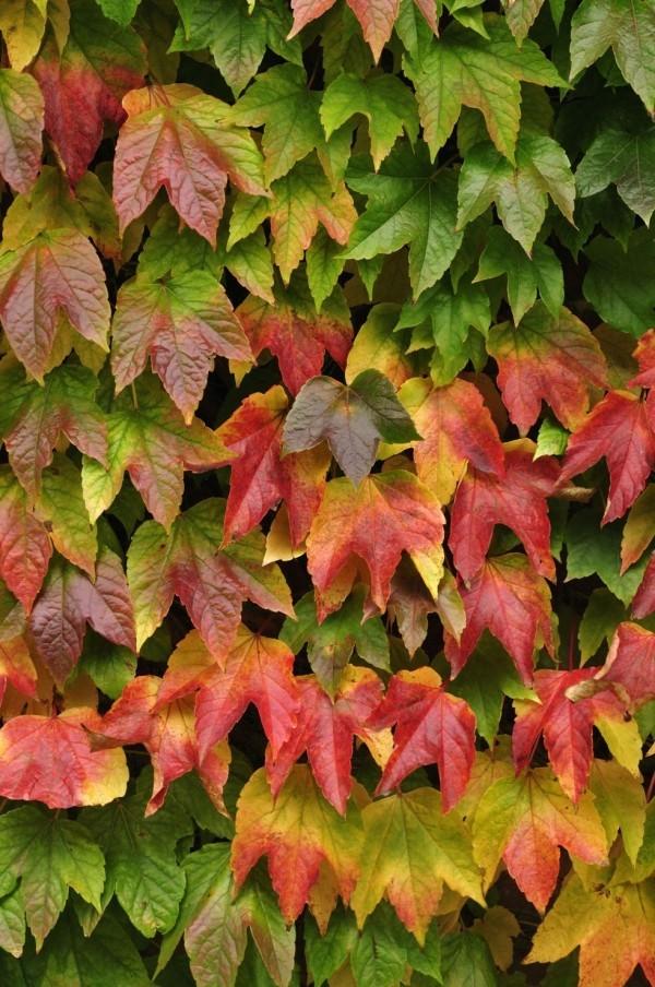 Kletterpflanzen bunt gefärbte Blätter Herbst schöner Blickfang Garten