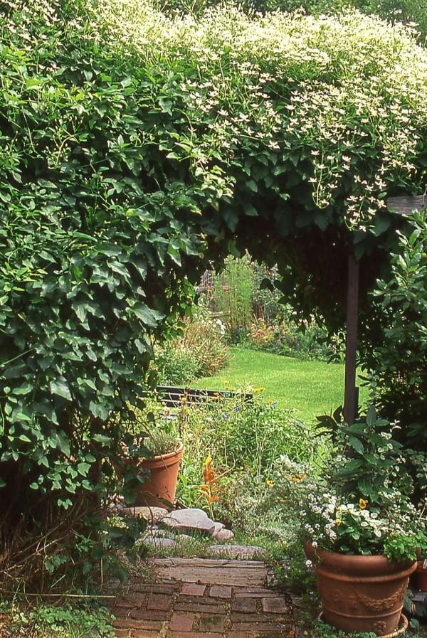 Schön blühende Kletterpflanzen Clematis