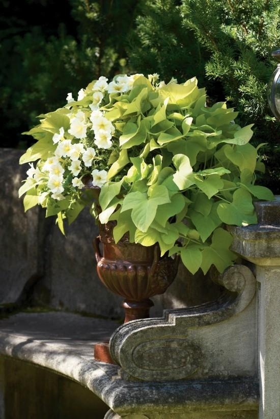 Topfpflanze weiße Blüten hellgrüne Blätter Steinbank im Garten