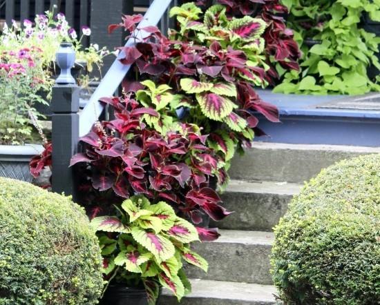Topfpflanzen Buntnessel dunkelrot grün auf Treppen im Garten