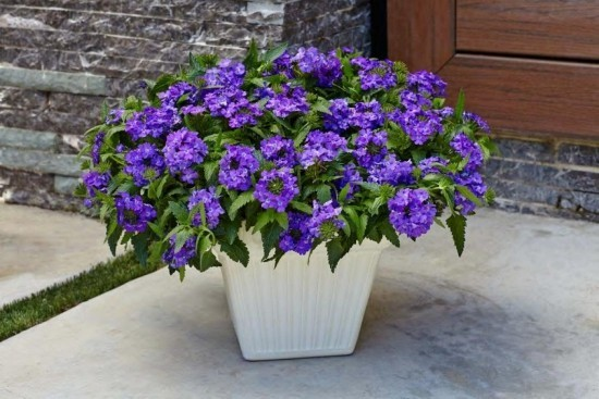 Topfpflanzen Verbenen bläulich –violette Blüten Akzent setzen