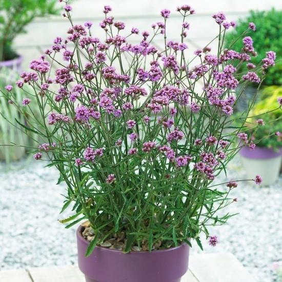 Topfpflanzen Verbenen zarte Blüten violett im gleichfarbigen Topf