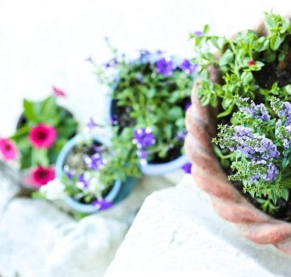 Topfpflanzen, Die Draußen Immer Gut Gedeihen