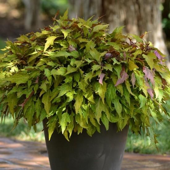 Topfpflanzen ein grüner Akzent Garten attraktiv