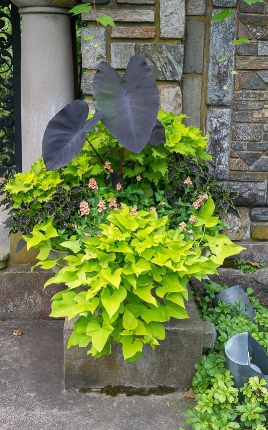 Topfpflanzen große Blätter grün Blickfang im Garten