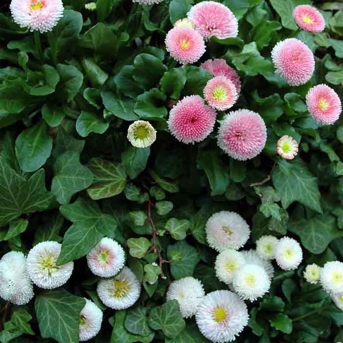 essbare wildpflanzen frischer salat gaensebluemchen weiss