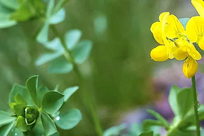 essbare wildpflanzen frischer salat hornklee
