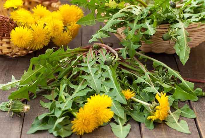 essbare wildpflanzen frischer salat loewenzahn blatt bluete