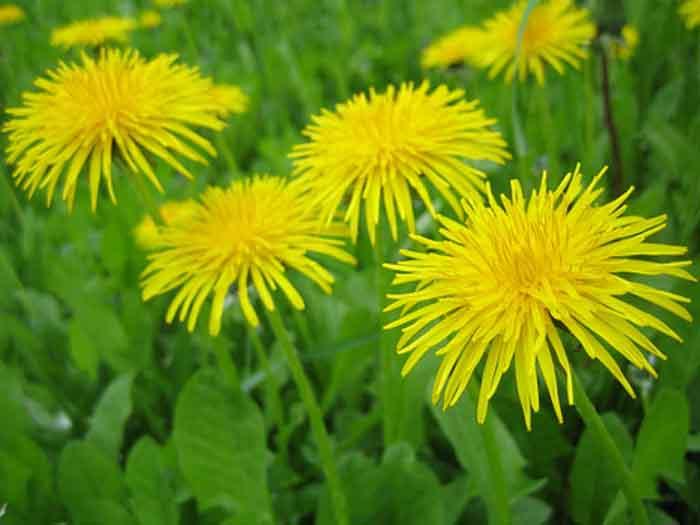 essbare wildpflanzen frischer salat loewenzahn