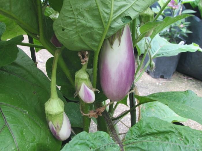 gemuesegarten anlegen blumenkaesten gemuese aubergine
