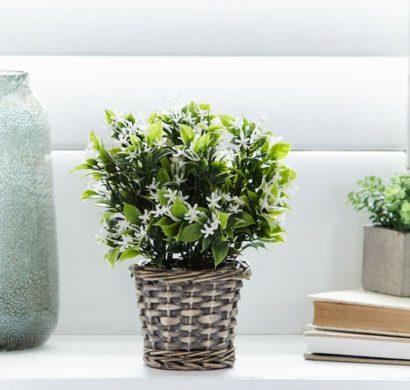 Jasmin Zimmerpflanze Ein Gruner Hingucker Zu Hause