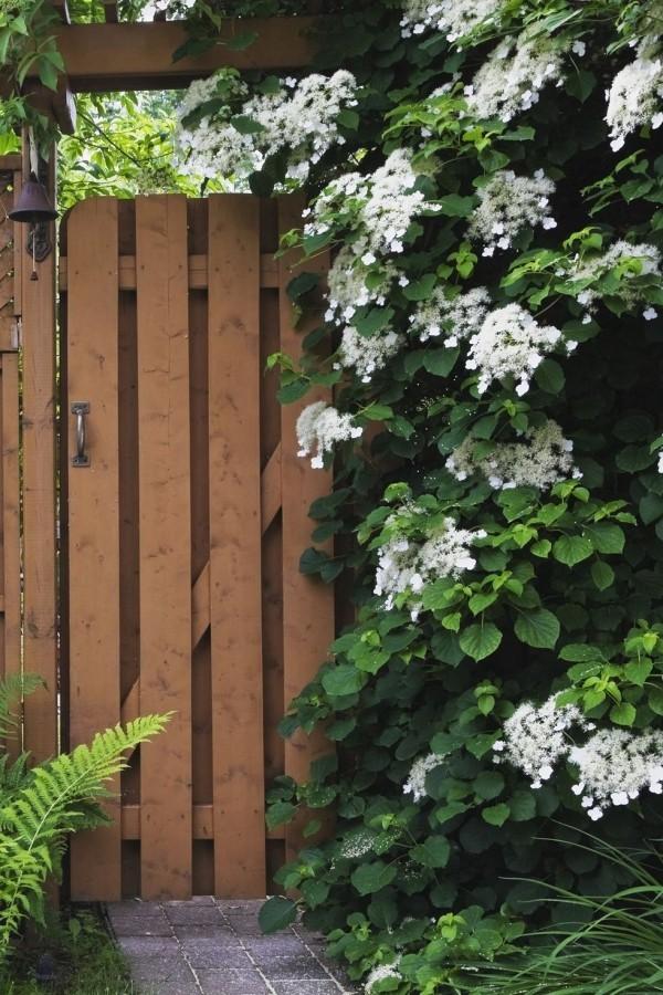 kleine weiße Blüten Kletterhortensie ziert Garten