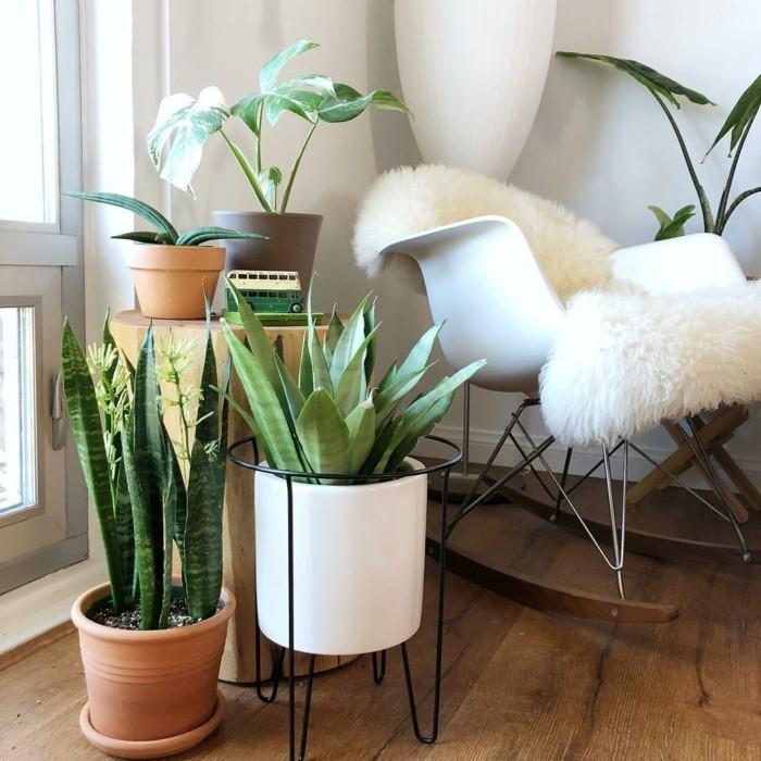 pflanze mit großen blättern bogenhanf mehrere zimmerpflanzen kombinieren