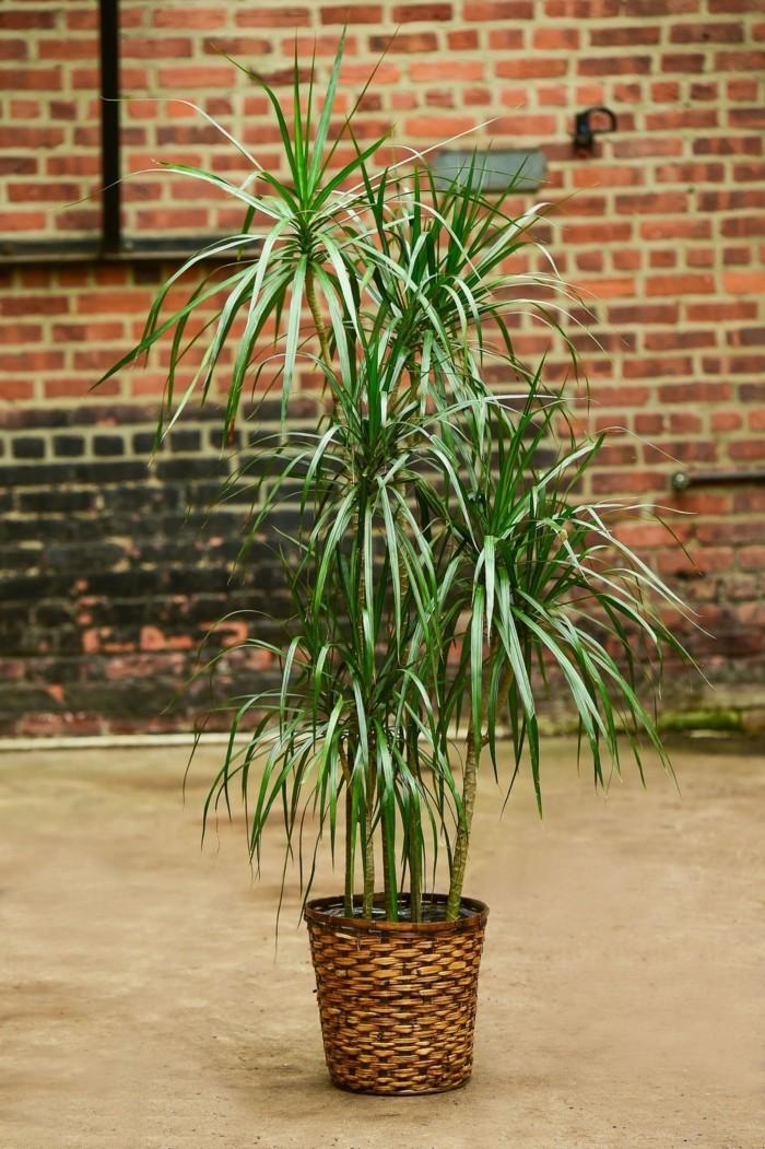 pflanze mit großen blättern drachenbaum blumentopf